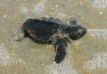 800px Baby_loggerhead_turtle_detailed_close_up