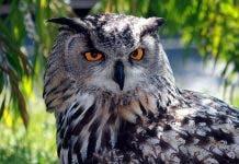 800px Eagle_owl_img_9203