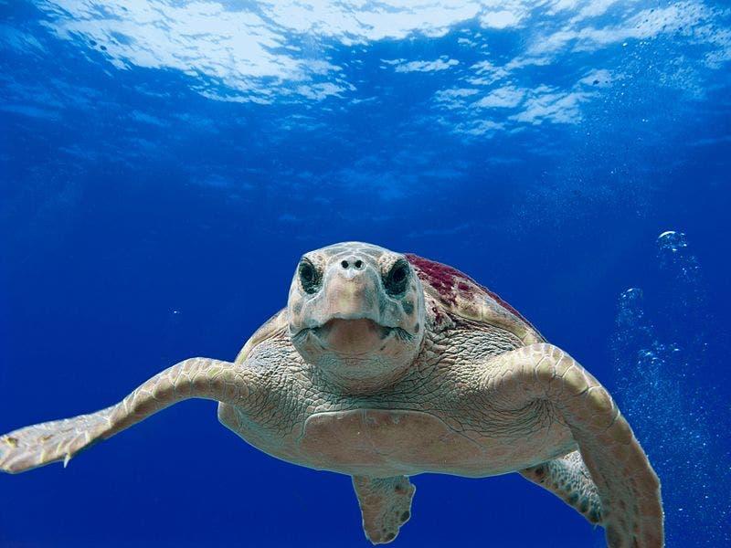 Loggerhead_turtle_ 5884715439