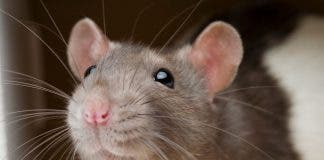 Residents Get Ratty Over Vermin Invasion Of Properties On Spain S Mar Menor