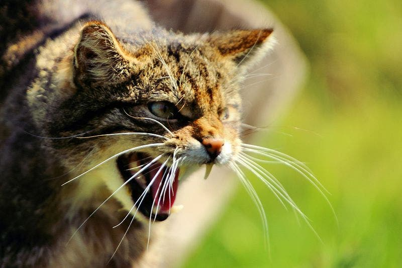 Scottish_wildcat_ _british_wildlife_centre_17256183461