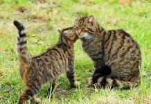 Scottish_wildcat_ _kitten