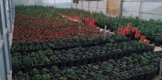 Police Follow Their Nose In Massive Marijuana Raid On Farm Adjoining British Area Of Spain S Costa Blanca