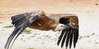 Vulture 2785815_1920