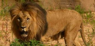 Lions Catch Covid 19 At Barcelona Zoo In Spain But Respond Well To Treatment