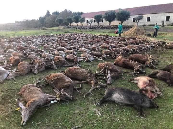 VILE HUNT: Portuguese outrage as Spanish hunters massacre 540 deer and boar – Olive Press News Spain