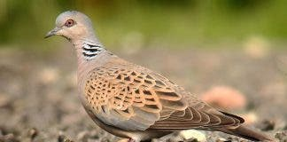 Fines Threatened After Endangered Turtle Doves Lack Protection In Spain S Murcia Region