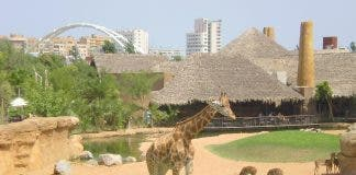 Giraffes at Valencia's Bioparc