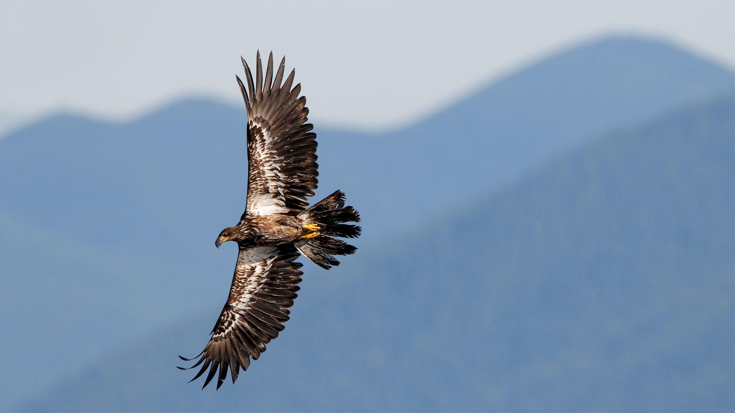 A1_3724_1_bald Eagle_nathan_rolls_kk