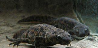 The Iberian ribbed newt