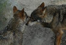 Iberian wolves in the wild