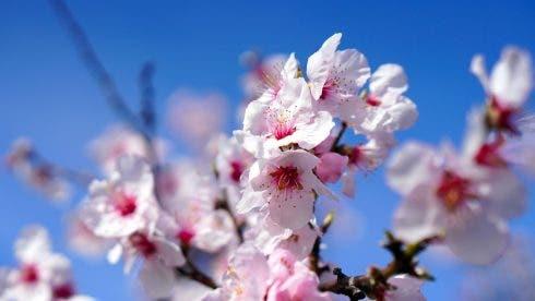 Almond Tree 4933574_1920