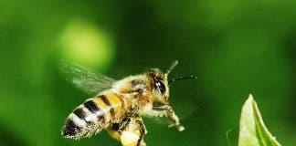 Domestic Bee