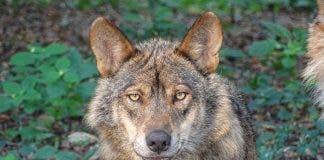Wolf 2705883_1920