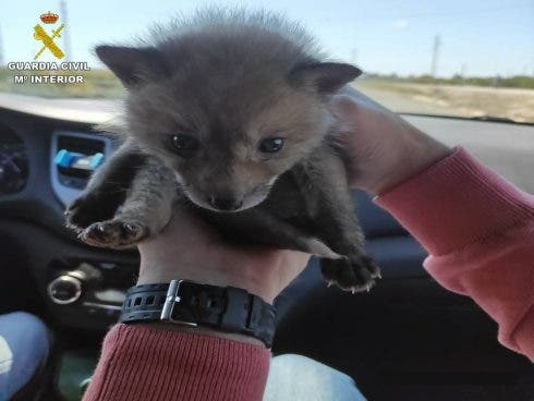 Illegally-caught baby fox rescued on Spain039;s Costa Blanca after it was advertised on a second-hand item website