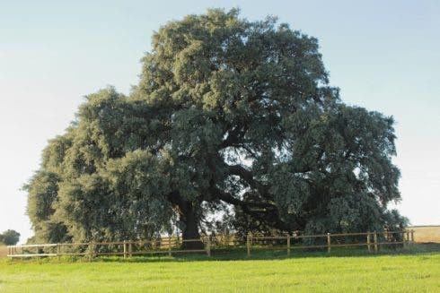 Olmeda De Las Fuentes Oak