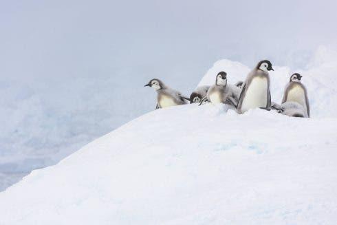Terenia Antarctica Penguins Dk