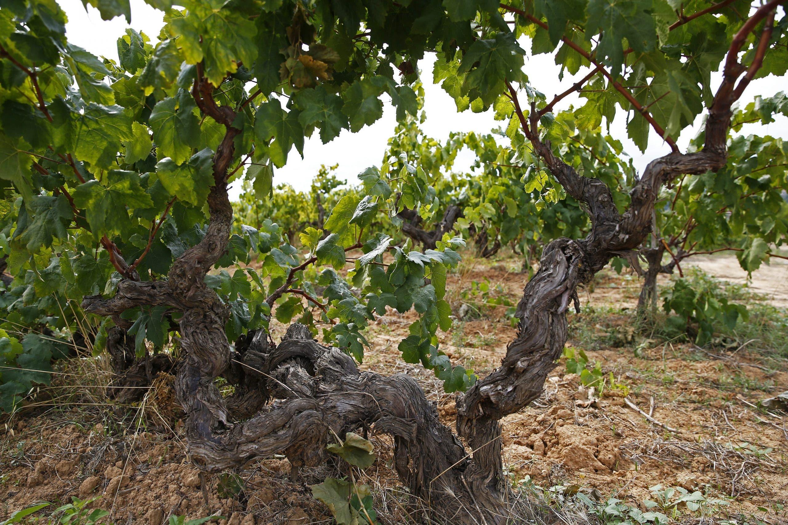 Cava grapes Requena