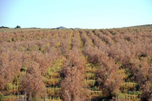 Dead Olive Grove