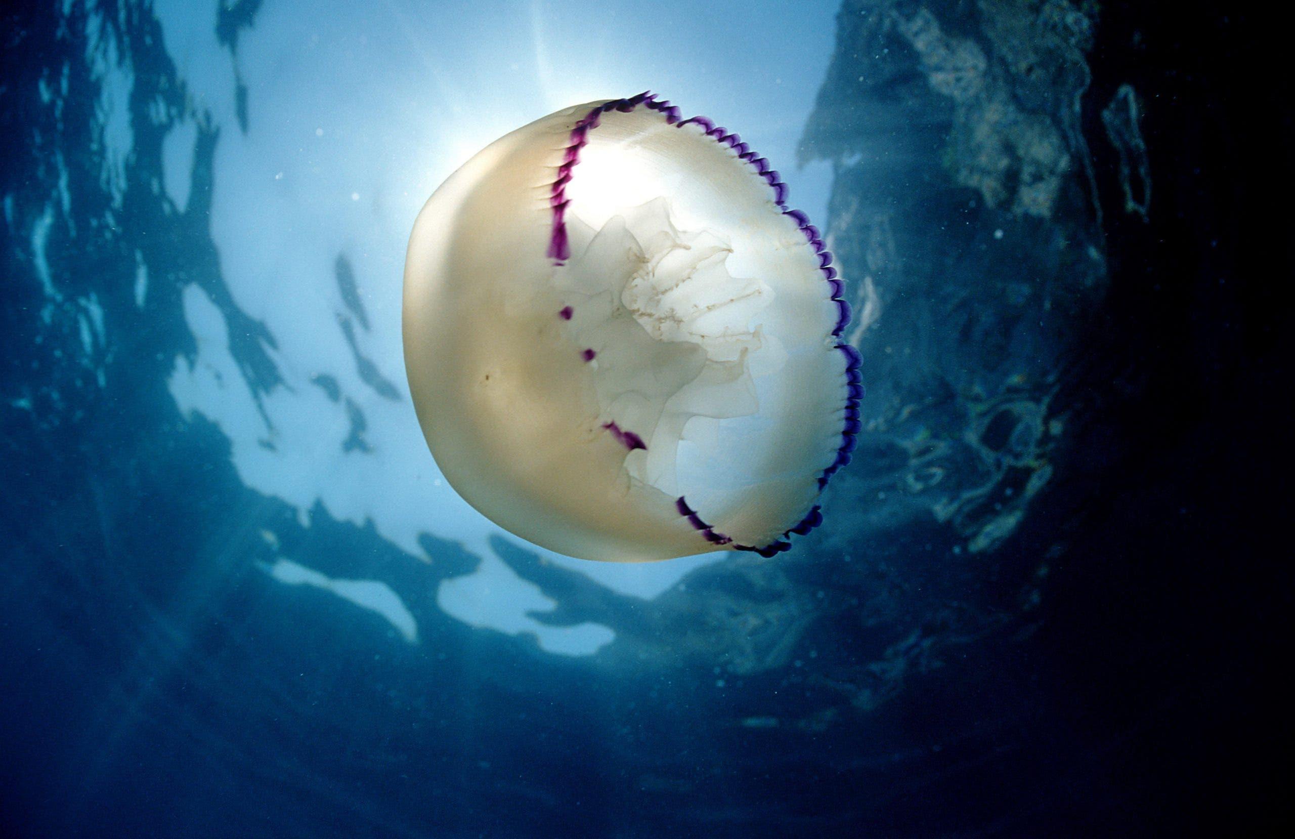 Jellyfish Gandia