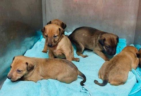 Adana Puppies