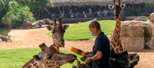 1628859761 Los Animales De Bioparc Valencia Disfrutan De Helados Y Lluvia