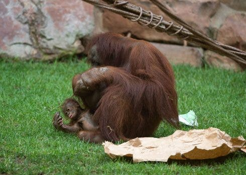 Bornean Orangutan At Bioparc Fuengirola In Malaga, Spain 14 Aug 2021