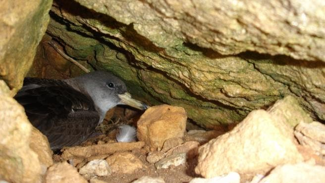 Joy as Europe's most critically endangered seabird spotted nesting off coast of Spain's Ibiza