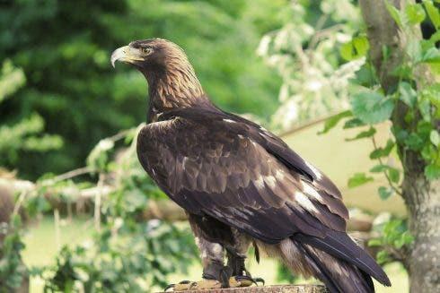 Golden Eagle 3489140 1920