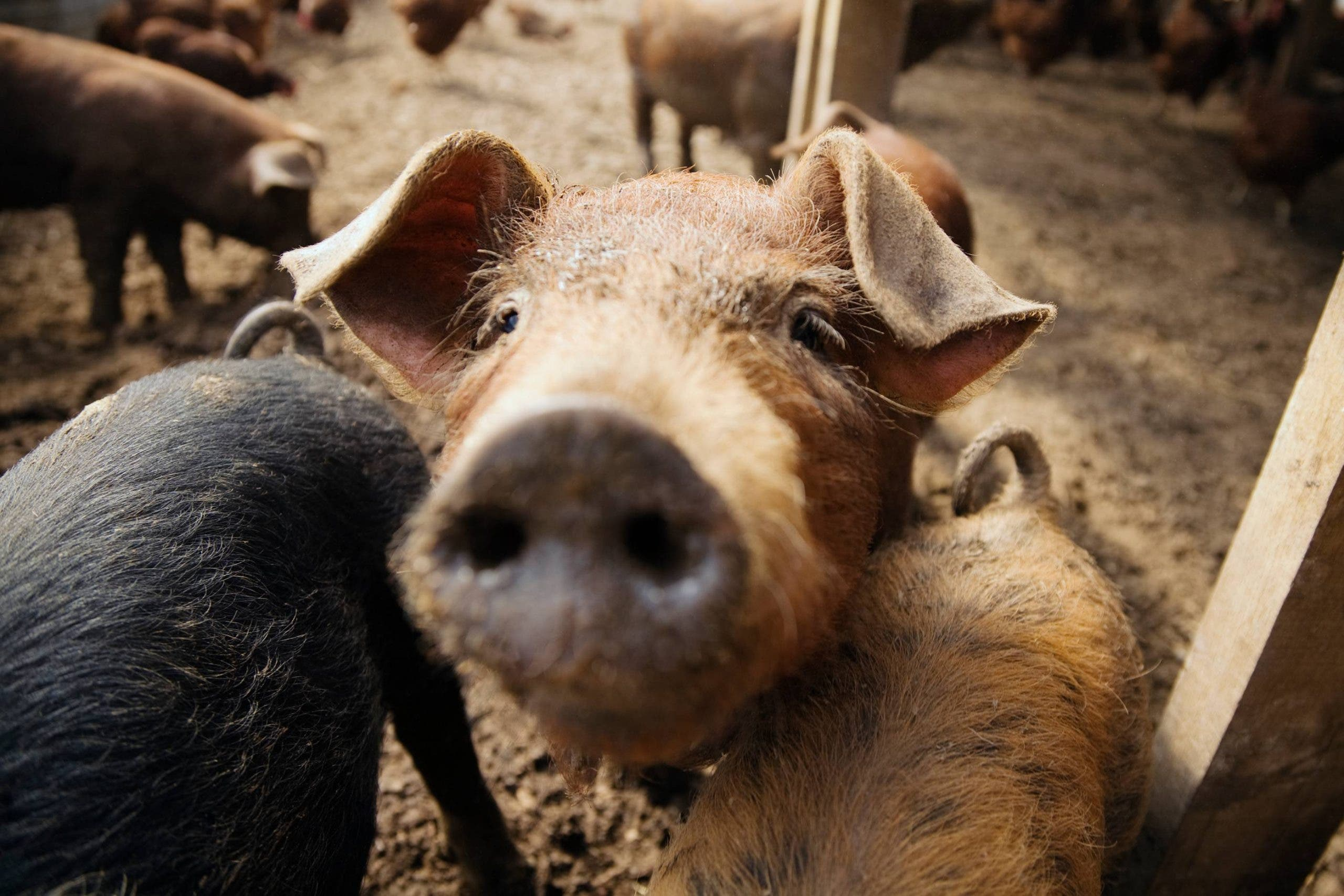 Costa Blanca News – Pig farm slurry discharges may be causing Mar Menor lagoon pollution in Spain