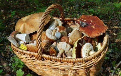 Basket With Edible Mushrooms